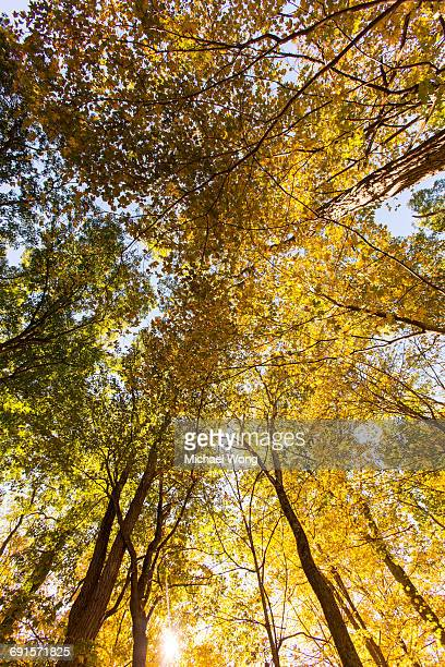 looking uo at trees in Fall foliage