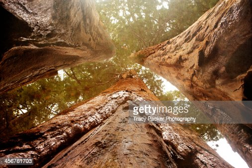 Looking up amongst three Giant Sequoia trees