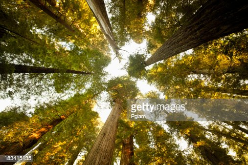 Looking up at a dense Sequoia forest