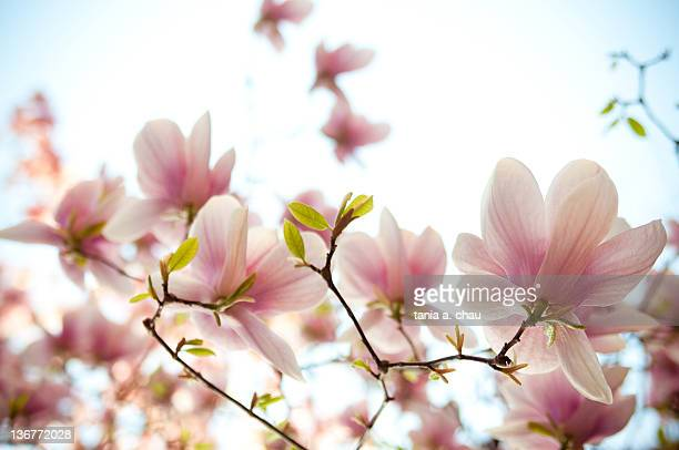 Looking up at pink and white magnolia flowers