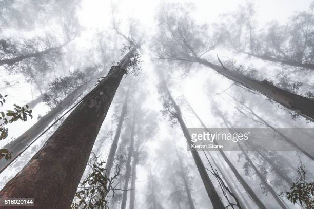 Looking up at tall trees in a forest with a thick fog