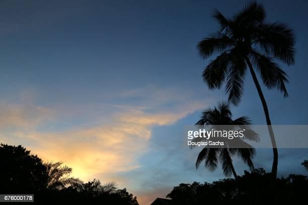 Looking up at the Palm Trees, Orlando, Florida, USA (Cocos_nucifera)