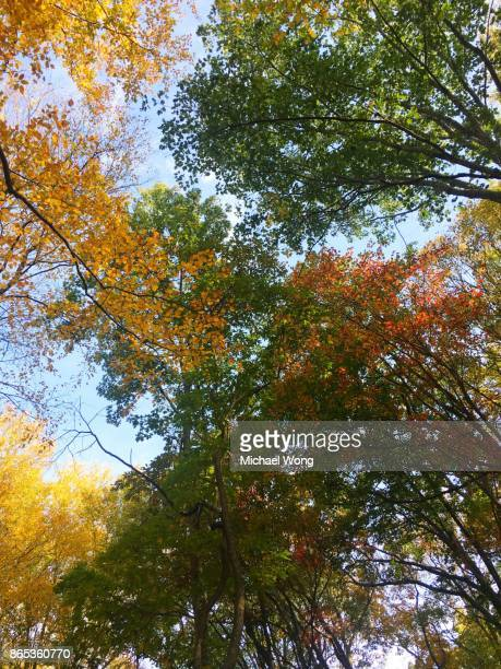 Looking up at trees during Fall showing Autumn colors
