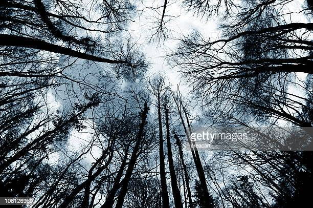 Looking Up at Winter Trees in Forest