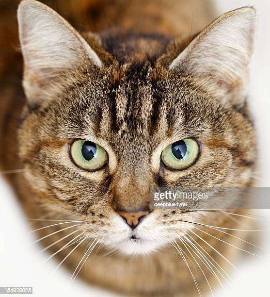 looking up brown stripped cat headshot