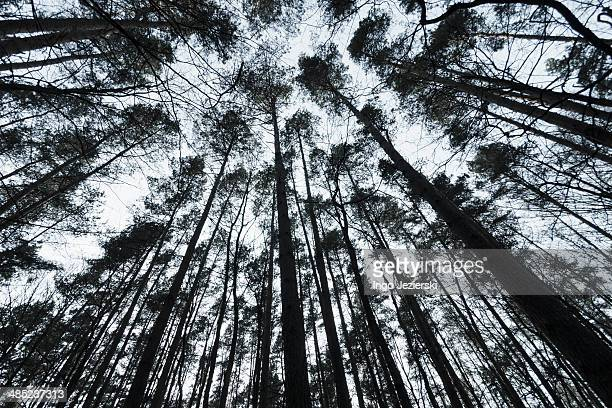 Looking up conifer trees in forest