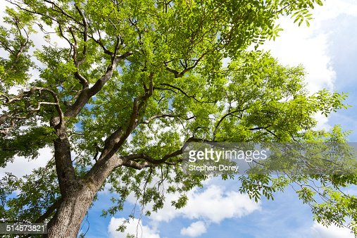 Looking up into a mature ash tree
