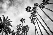 Looking up into palm trees, Mexican fan palms (Washingtonia robusta) towering above, and a Canary Island date palm in the lower left, in Palisades Park, Santa Monica. Black and white.