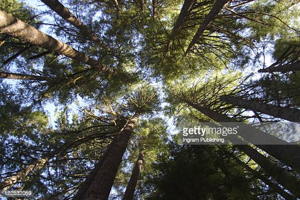 Looking Up Into Trees