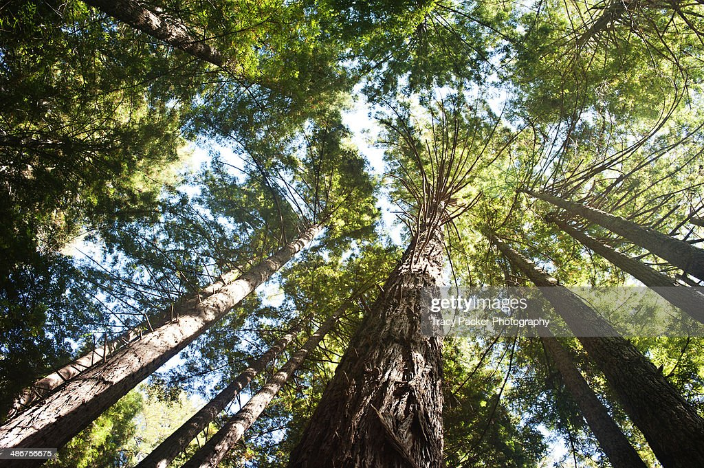 Looking up through Californian Coast Redwoods.