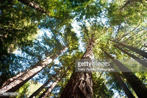 Looking up through Californian Coast Redwoods.
