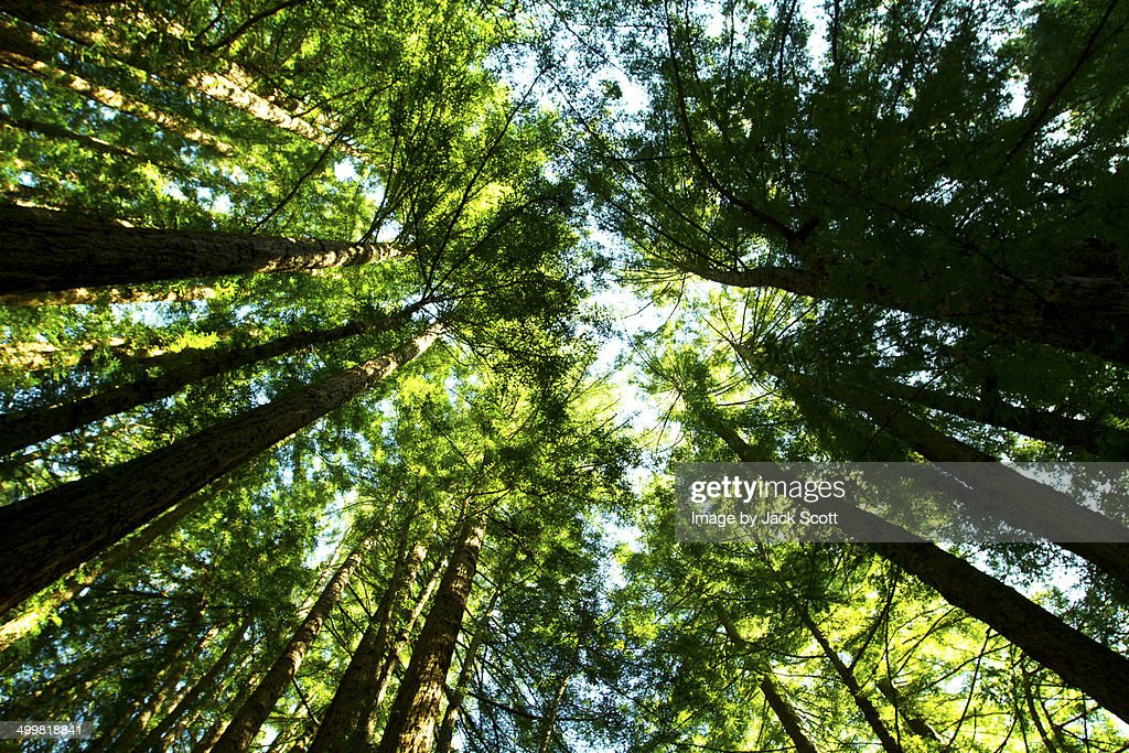 Looking up to the Canopy of Muir Woods