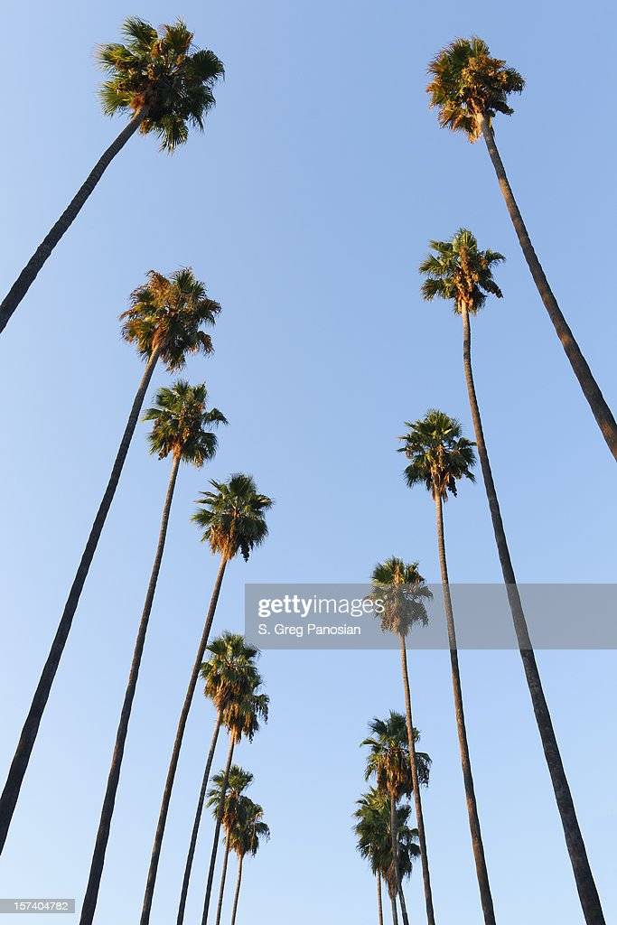 Looking up to the sky and see lines of palm trees
