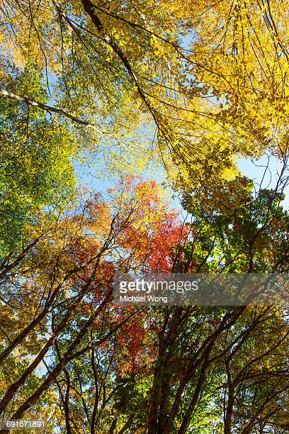 Looking up view of trees during Fall foliage