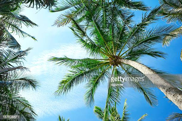 Looking upwards at tall palm tree against blue sky