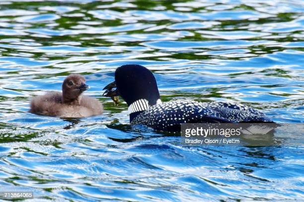 Loon Feeding To Chick In Lake