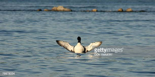 A loon is pictured on Lake Winnipesaukee in Wolfeboro New Hampshire 05 August 2007 near where French President Nicolas Sarkozy is vacationing Sarkozy...
