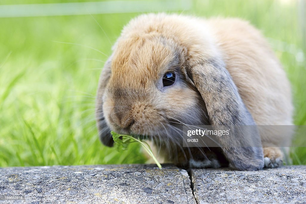 Lop eared rabbit in the grass