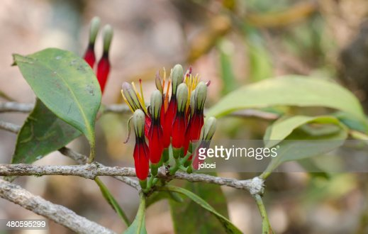 Loranthaceae flower : Stock Photo