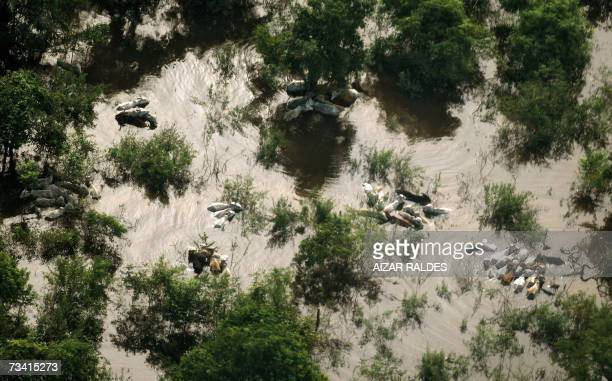 Aerial view of heads of cattle in a flooded area in Loreto 70 Km from Trinidad Province of Beni Bolivia 24 February 2007 Authorities say two months...