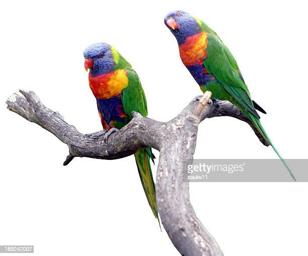 Lorikeets (Clipped)