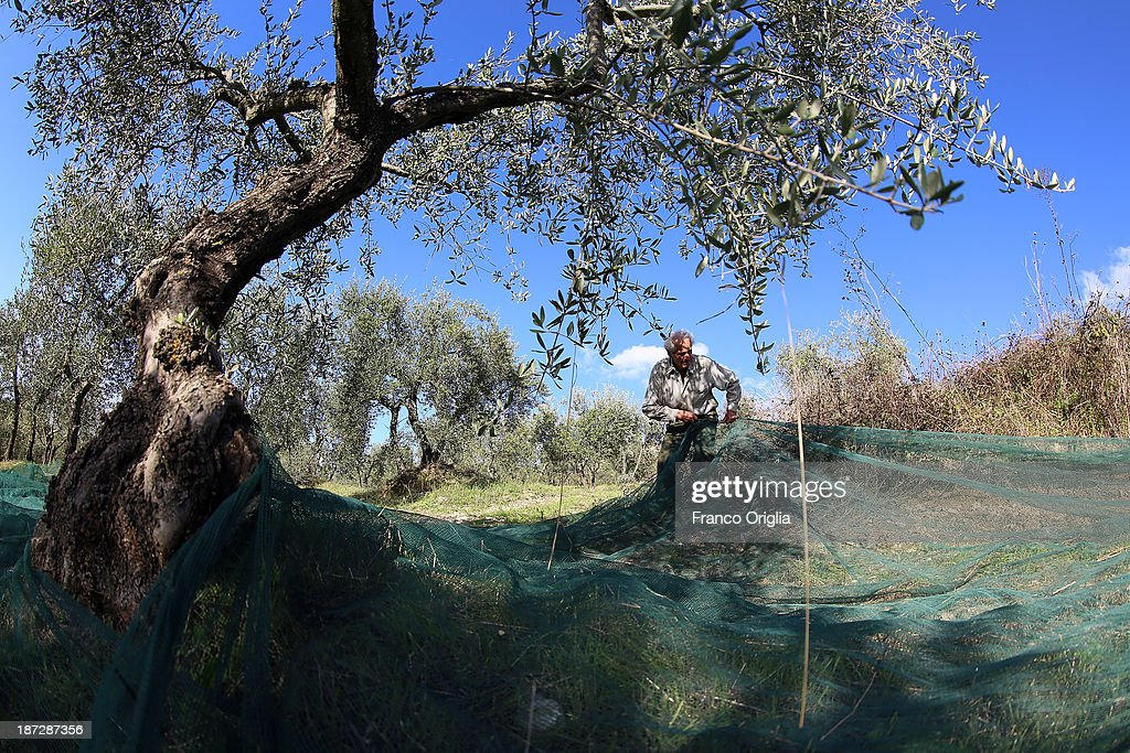 Loris, 84, picks olives at the Castello La Leccia estate on November 7, 2013 in Castellina in Chianti (Siena), Italy. An optimal climate, fertile land and skilled hands make Tuscan extra virgin olive oil one of the most popular food product in and outside of Italy.
