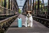 cool  jack russell dog abandoned at rail train track on a bridge,  waiting to be adopted, wearing sunglasses