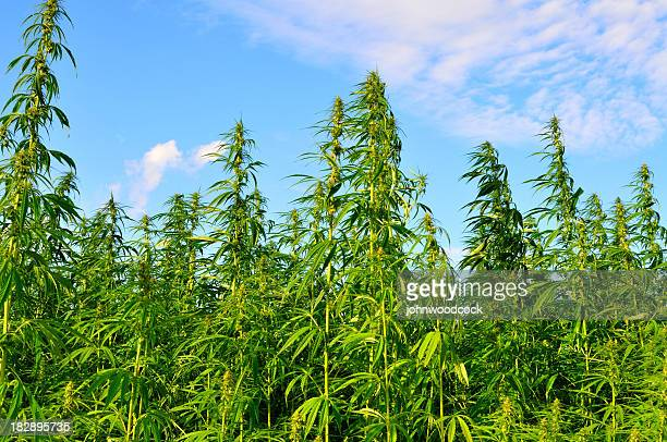 A lot of hemp growing on a hemp farm