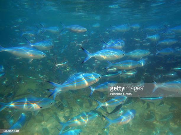 Lots Of Blue Fusilier Fish Patrolling The Coral Reef