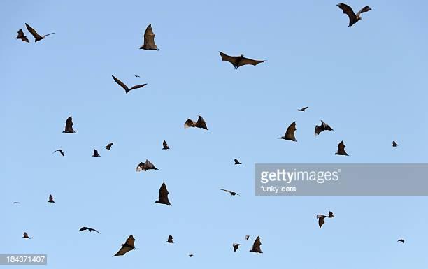 Lots of flying fox