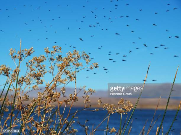 Lots of Midges Flying at Pyramid Lake, Nevada