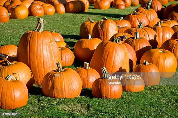 Lots of pumpkins on green grass