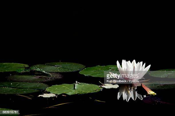 Lotus And Leaves Floating On Pond At Night