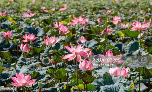 Lotus blossom field