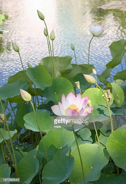 Lotus Blossom II