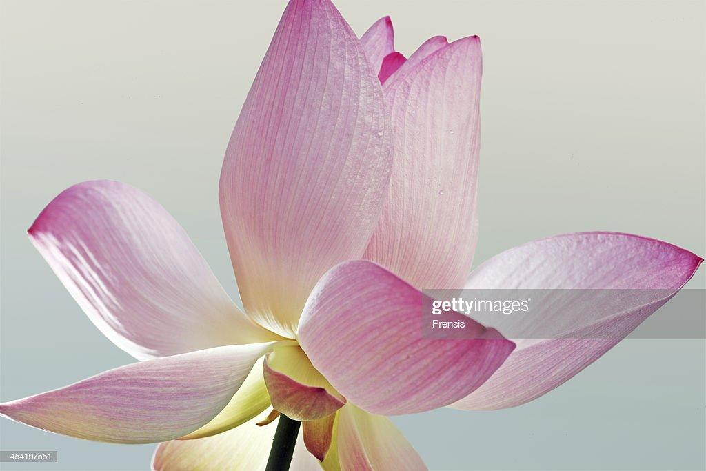 Lotus primer plano : Foto de stock