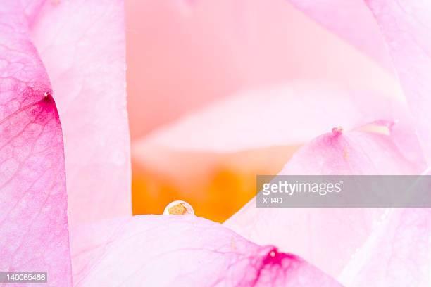 lotus de