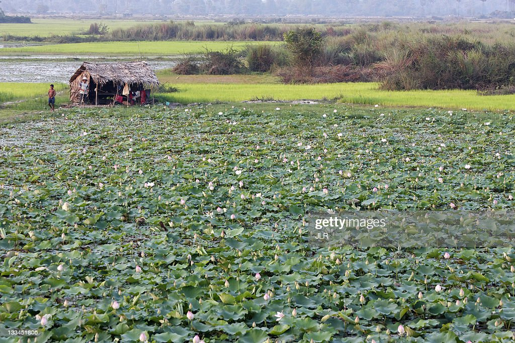 Lotus field at Tonle Sap lake, Cambodia : Stock Photo