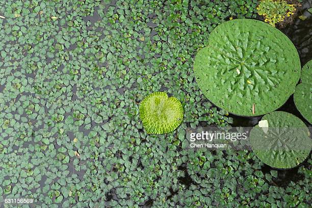 Lotus fllowers