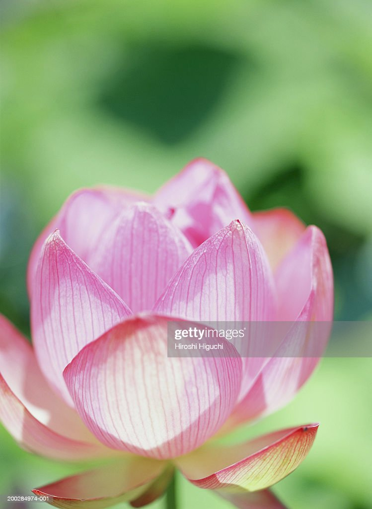 Lotus (Nelumbo sp) flower, close-up : Stock Photo