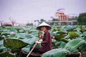 Lotus flower harvesting - Hanoi, Vietnam