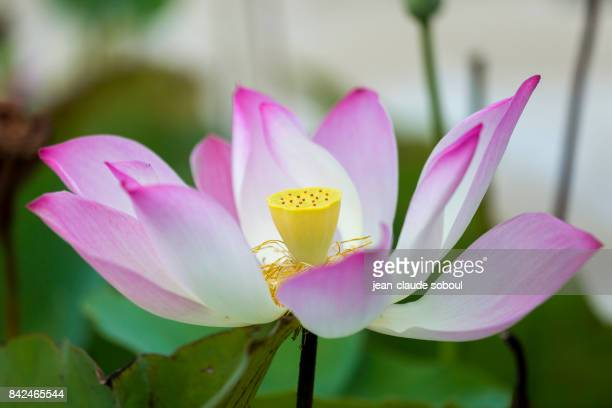 A Lotus flower, in Sihanoukville city (cambodia)