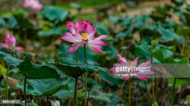 lotus flower on the pond at sunny day.