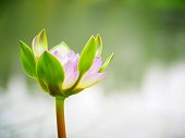 Lotus flower or water lily and green leaf. Beautifully blooming in the spa pool to decorate. It is the flower of the month. July is also related to art and religious beliefs.