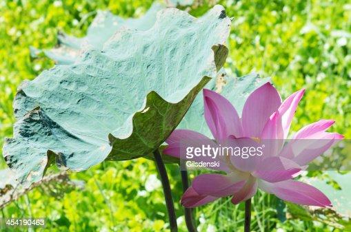 Flor de lótus : Foto de stock