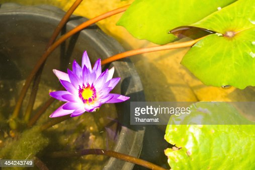 Lotus flower : Stock Photo