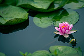 lotus flower; lotus ;flower;plant;nature;growth;environment;blowing; water;