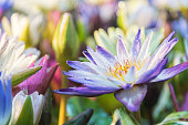 Lotus flower (Lotus, Water-lily, Tropical water-lily or Nymphaea nouchali) white and purple color, Naturally beautiful flowers in the garden