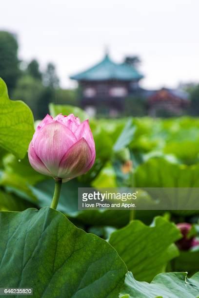 Lotus flowers at Shinobazu-no-Ike