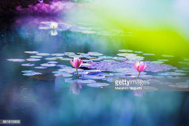 Lotus flowers in a pond